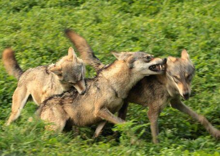 Canis lupus pallipes Mysore Zoo 2-e1413392957475