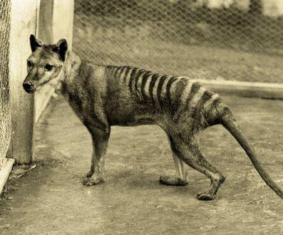 Tigre-de-Tasmanie (1)