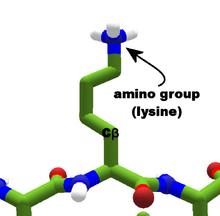 Amino group lysine