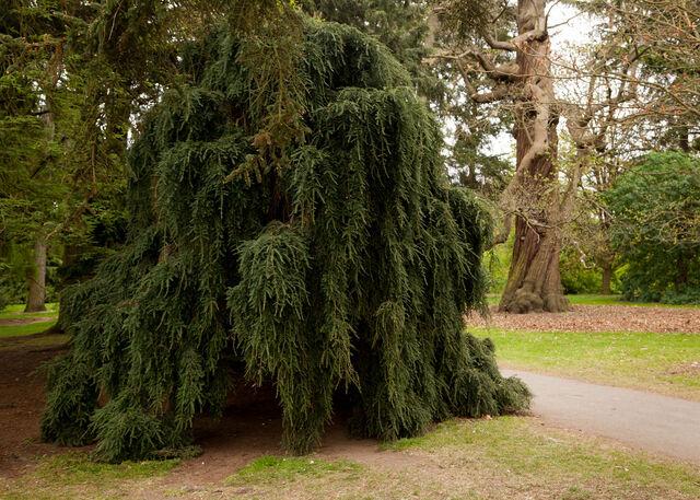 File:Krynoid bush Kew.jpg