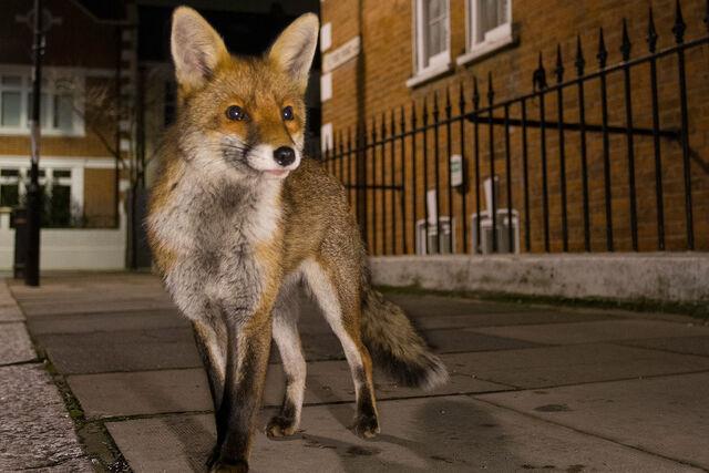 File:Urban fox.jpg