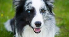 Dogs-with-different-color-eyes-long