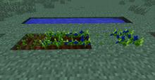 Blueberry crop