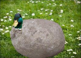 Rock duck