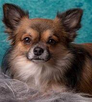 Longcoat-chihuahua-dog-001 (302 x 335)-min-302x335
