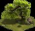 Japanese Pine