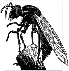 File:Mason-Wasp.PNG