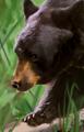 Black bear portrait NWN.png