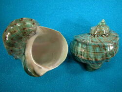 Green turbo snail shell1