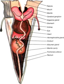 Piercer anatomy