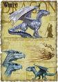 White dragon anatomy - Richard Sardinha.jpg