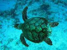 Hawksbill sea turtle1