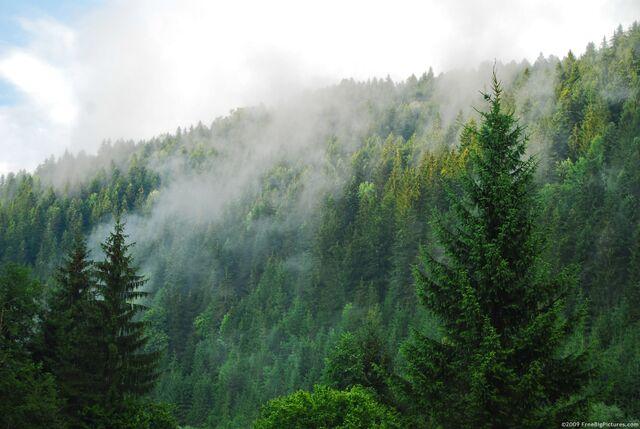 File:Coniferous-forest.jpg