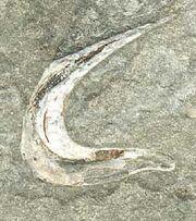 Falcatus falcatus spine