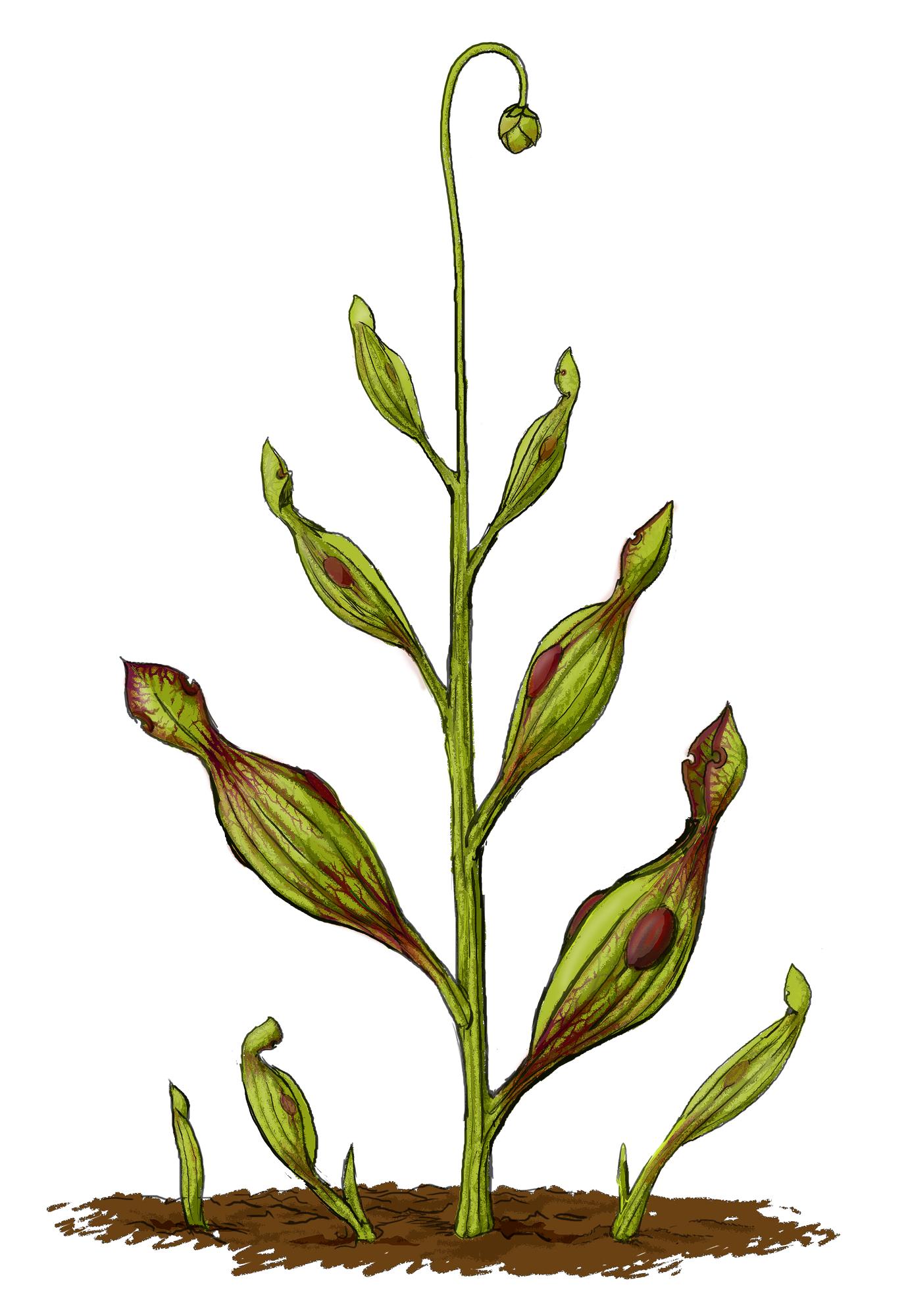 Plantae | Fossil Wiki | FANDOM powered by Wikia