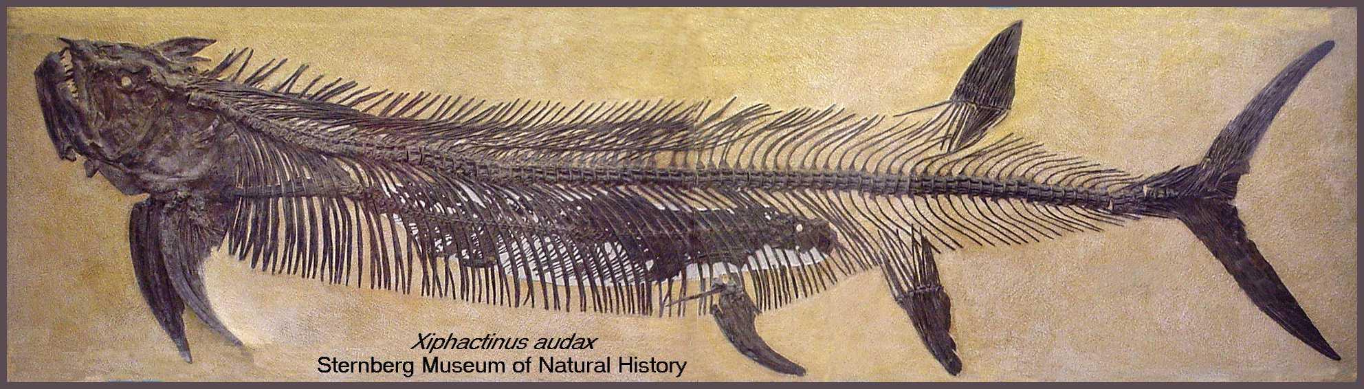 Xiphactinus   Fossil Wiki   FANDOM powered by Wikia