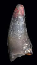 Croc-tooth-LRF1918
