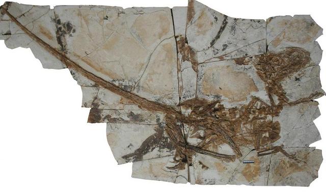 File:Tianyuraptor skeleton 1.png