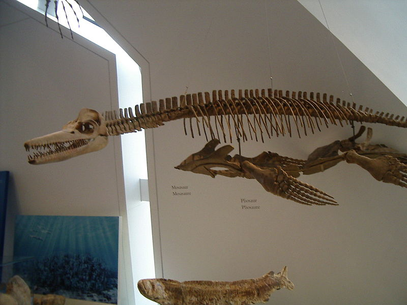 Trinacromerum | Fossil Wiki | FANDOM powered by Wikia
