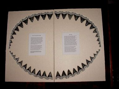 Megalodon tooth set BV