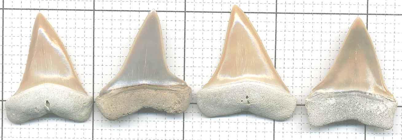Cosmopolitodus hastalis | Fossil Wiki | FANDOM powered by ...