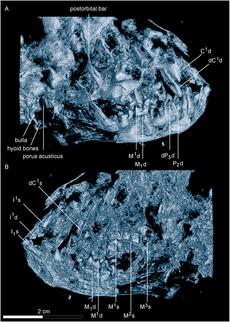 Darwinius masillae skull