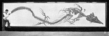 Sharp osborn tylosaurus