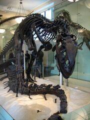 Esqueleto de Allosaurus 2