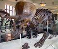 Triceratops AMNH 01.jpg