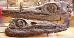 Temnodontosaurus burgundiae
