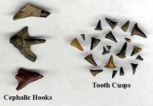 Hybodus teeth and spines