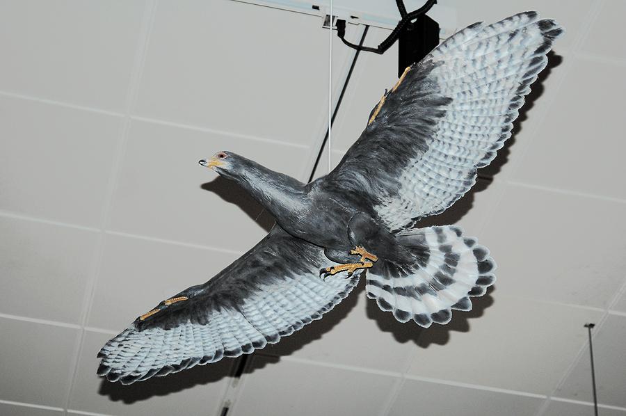 Sapeornis | Fossil Wiki | FANDOM powered by Wikia