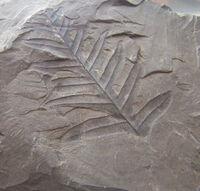 Lonchopteris rugosa