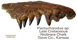 Pachyrhuzodus sp. Niobrara chalk fm.1