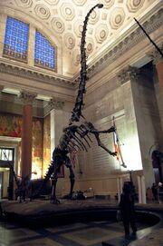 Barosaurus mount 1