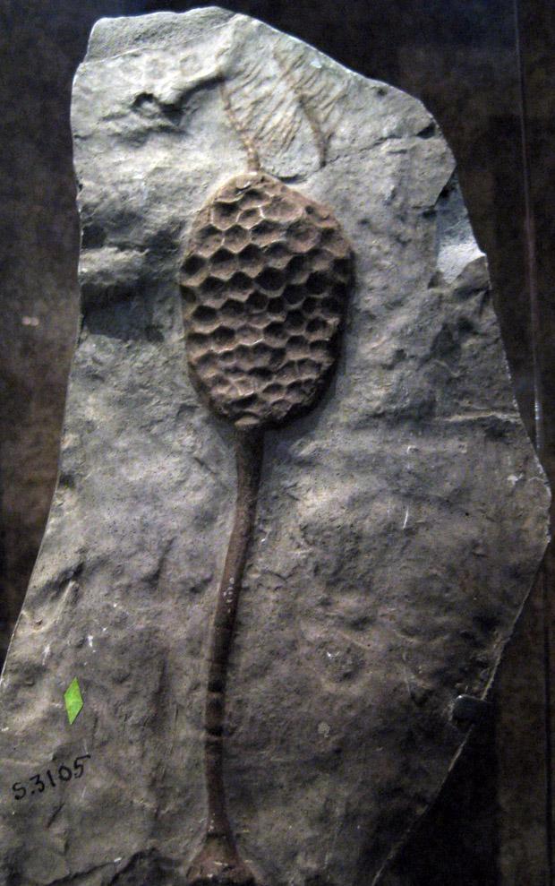 Category:Echinoderms | Fossil Wiki | FANDOM powered by Wikia