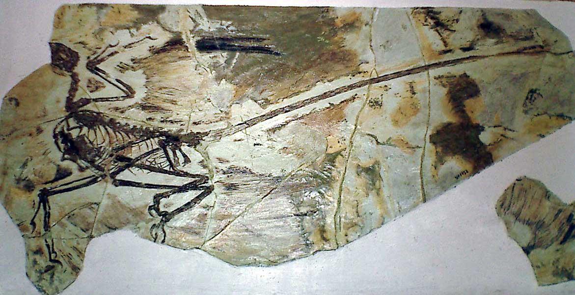 Archaeoraptor | Fossil Wiki | FANDOM powered by Wikia