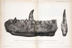 Buckland, mandíbula Megalosaurus