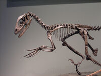 Deinonychus skeleton FMNH