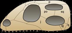 Skull diapsida 1