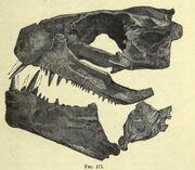 Xiphactin skull