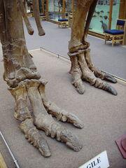 Iguanodon feet