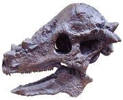 Pachycephalosaurus (1)