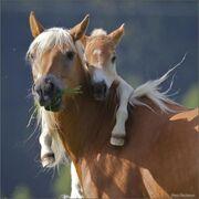 Pony squared