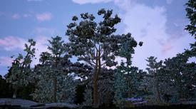 Italian Stone Pine2