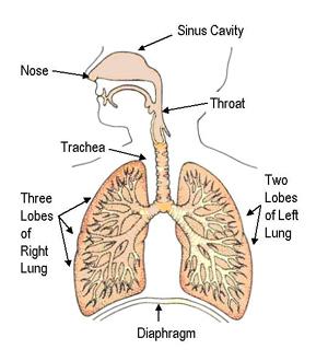 1-respiratory-system