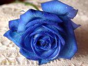 Blue-rose