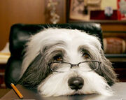 Face shaggy dog