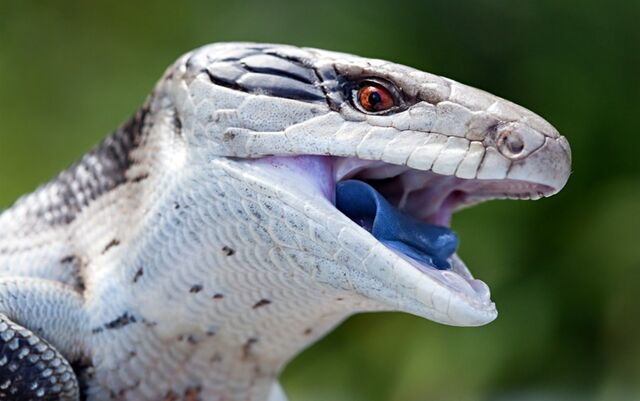 File:Blue-tongued-skink-berry-blue-tongue-820x514.jpg