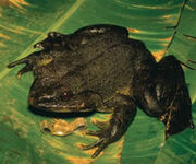Golitath frog